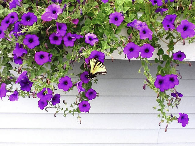 No Petunias Were Harmed In >> Catch The Wave Petunias Ledger Independent Maysville Online