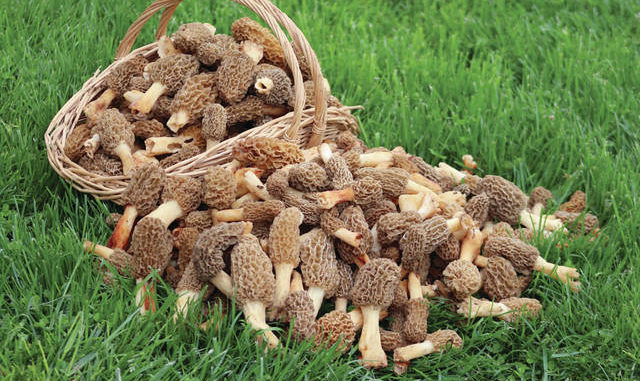 Seeking and finding: Gloria's Spring mushrooms   Ledger Independent